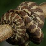 CB 2018 Carpet Python