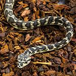 CB 2018 Caramel Carpet  Python