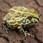 CB  Giant African Bullfrog