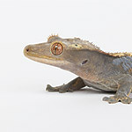 CB 5-6cm Crested Gecko