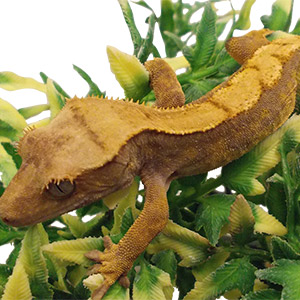 CB 5-6cm FLAME Crested Gecko