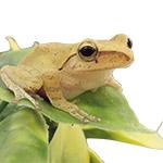CB Gold Treefrog
