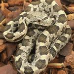 CB20 Black Rat Snake