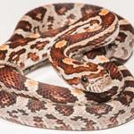 CB20 Normal Corn Snake