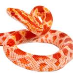 CB21 Amel Corn Snake