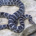 CB21 Anery Corn Snake
