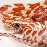 CB20 Hypo Corn Snake