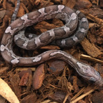 CB21 Charcoal Corn Snake