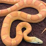 CB21 Sunkissed Corn Snake