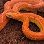 CB21 Lava Corn Snake