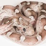 CB21 Granite Corn Snake