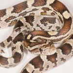 CB20 Caramel Corn Snake