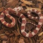 CB20 Hypo Diffused Corn Snake
