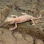 WC Petrie's Dune Gecko