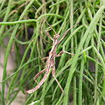 CB Sunny Stick Insect