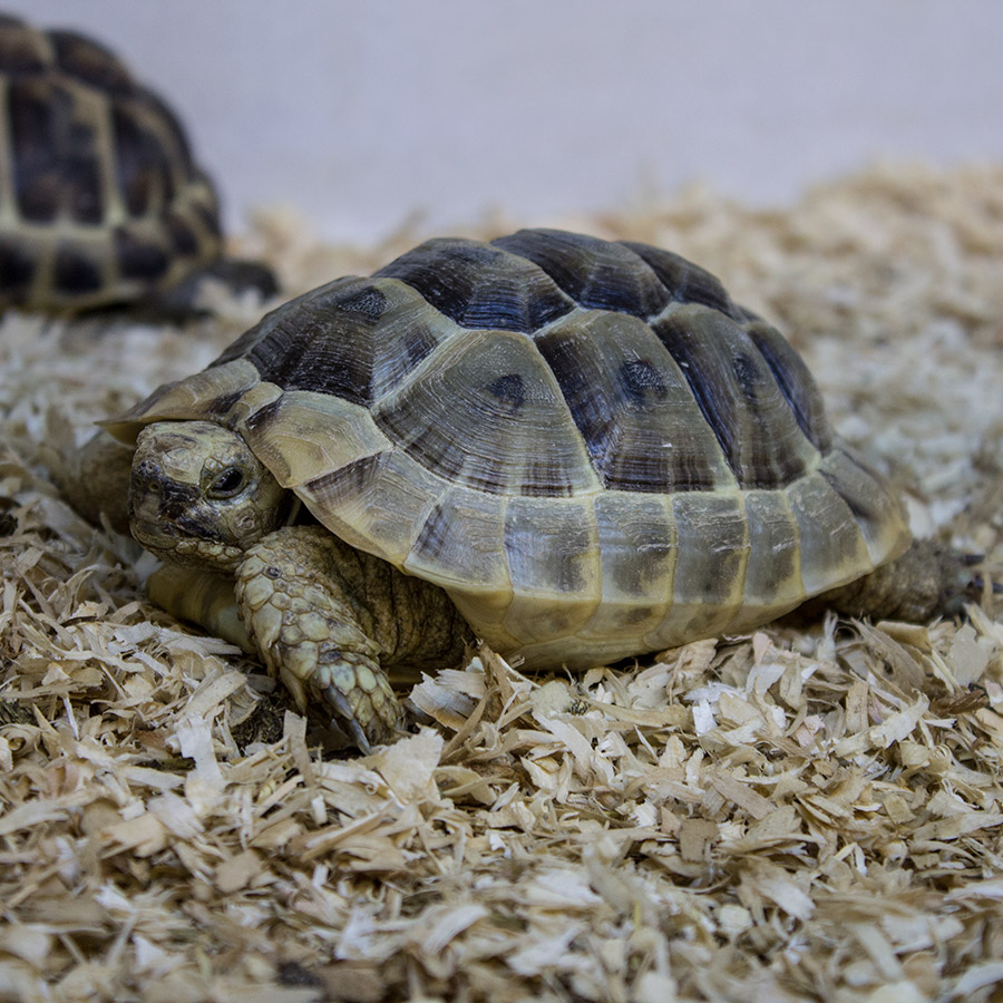 CB 2018 Spur Thighed Tortoise (microchipped)