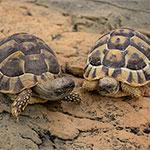 CB2013 Hermans Tortoise PAIR