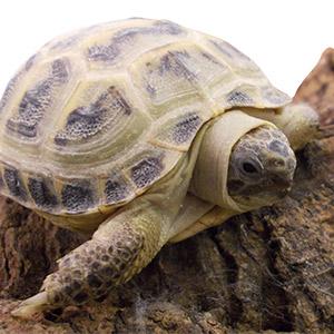 CF18 Horsfields Tortoise