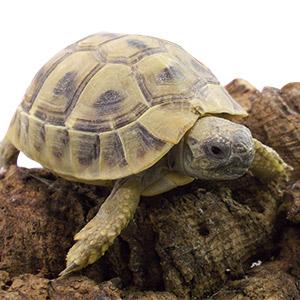 CB 2016 Hermanns Tortoise chipped