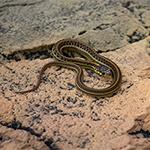 CB MEXICAN Garter Snake (T.e.eques)