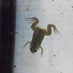 CB 1-2cm Congo Frog